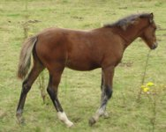 Sect C Filly Foal 2020 by Gwarchod Buster
